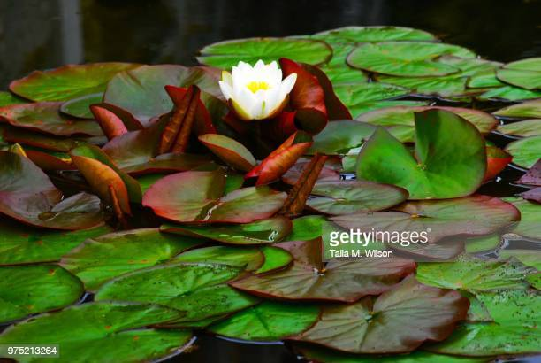 lillypads - lily wilson stock pictures, royalty-free photos & images