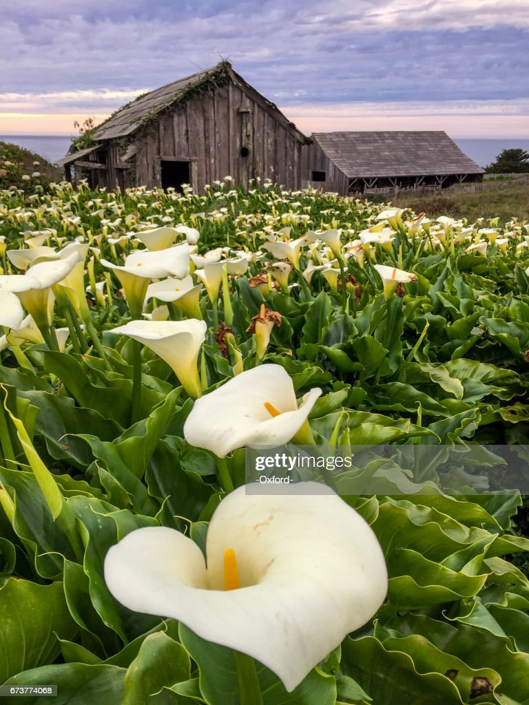 Lily By Fence : Stock Photo