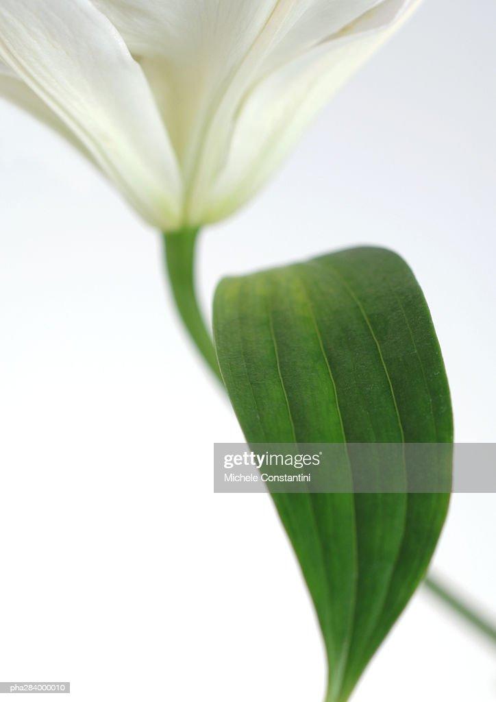 Lily, close-up : Stockfoto
