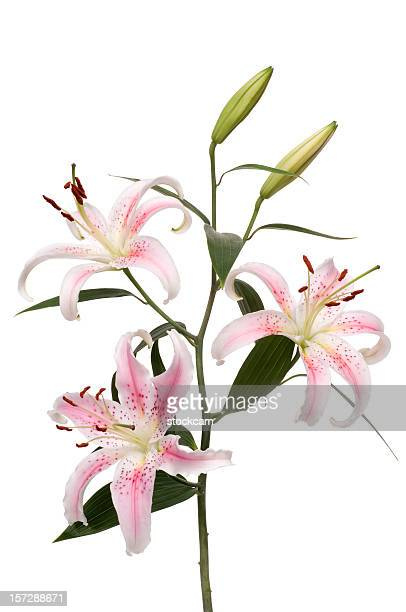 lily flower isolated on white - alstroemeria stock pictures, royalty-free photos & images