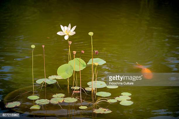Lily Lotus flower bloom in lotus pond