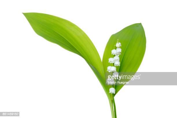 lily of the valley (convallaria majalis) against white background. - muguet fotografías e imágenes de stock