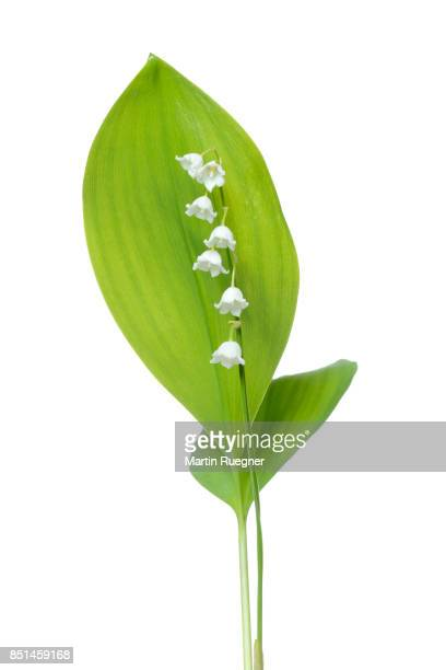 lily of the valley (convallaria majalis) against white background. - lily of the valley stock pictures, royalty-free photos & images