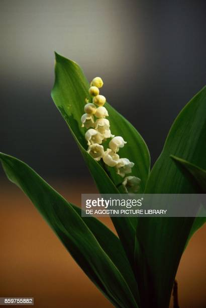 Lily of the valley Asparagaceae