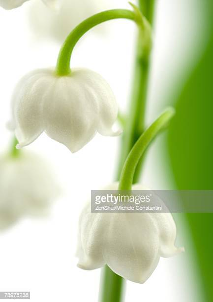 Lily of the valley, close-up