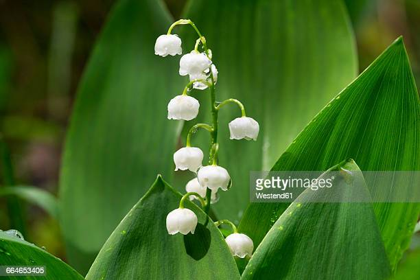 lily of the valley, convallaria majalis - mughetto foto e immagini stock