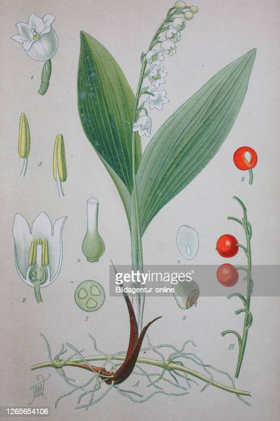 Lily of the valley, Convallaria majalis, sometimes written lily-of-the-valley, is a sweetly scented, highly poisonous woodland flowering plant that...