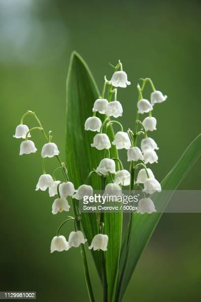 lily of the valley(convallaria majalis) flower - muguet fleur photos et images de collection