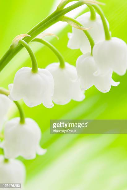 Lily of the Valley (Convallaria majalis )の花-IV