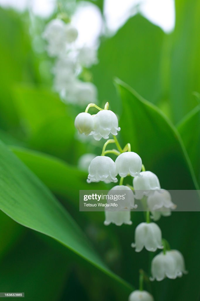 Lily of the valley flowers : Stock Photo