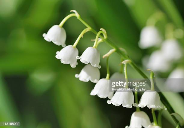 60 Top Lily Of The Valley Pictures Photos Amp Images
