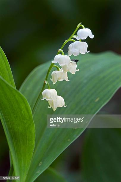 Lily of the Valley / LilyoftheValley in flower in spring