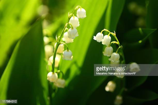 lily of the valley - muguet fleur photos et images de collection