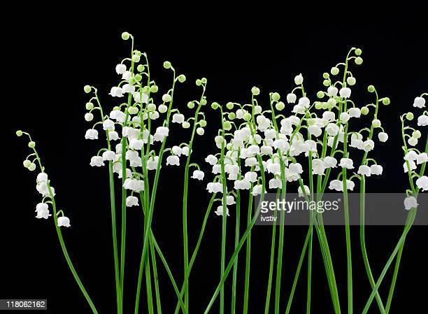lily of the valley (convallaria majalis - muguet fotografías e imágenes de stock