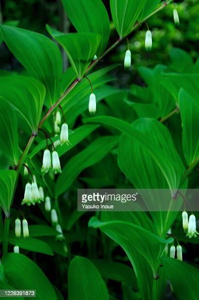 bush lily valley
