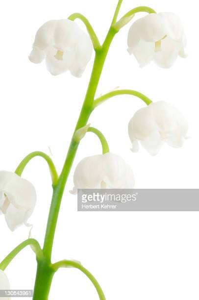 lily of the valley (convallaria majalis) - lily of the valley photos et images de collection