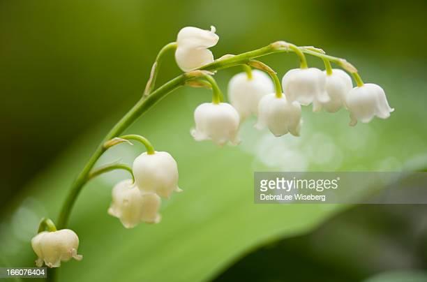 lys de la vallée - muguet fleur photos et images de collection