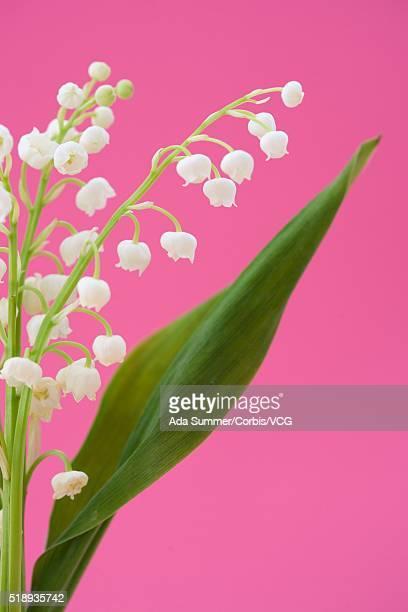 lily of the valley - muguet fotografías e imágenes de stock