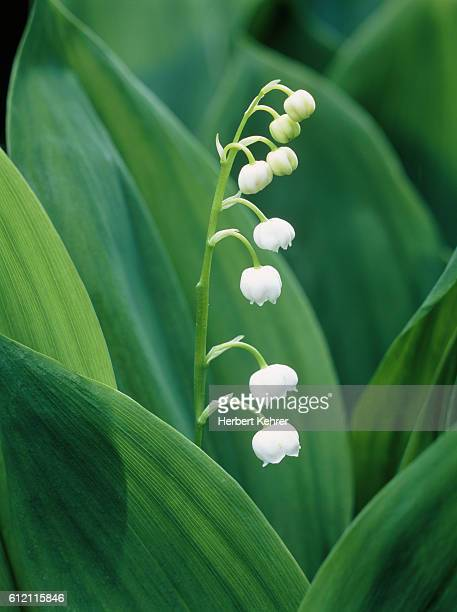 lily of the valley - lily of the valley stock pictures, royalty-free photos & images