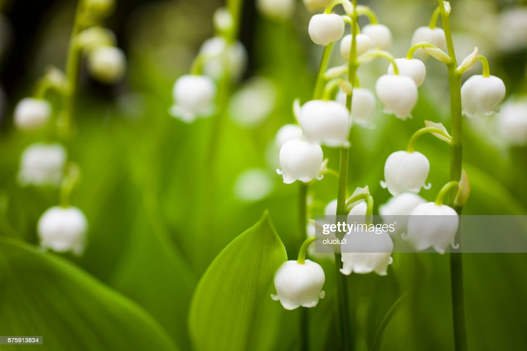 Lily of the valley : ストックフォト