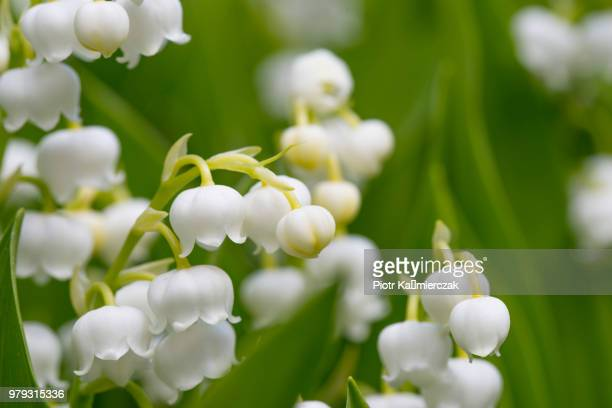 lily of the valley (convallaria majalis) - mughetti foto e immagini stock