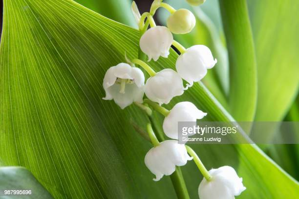 lily of the valley - mughetti foto e immagini stock