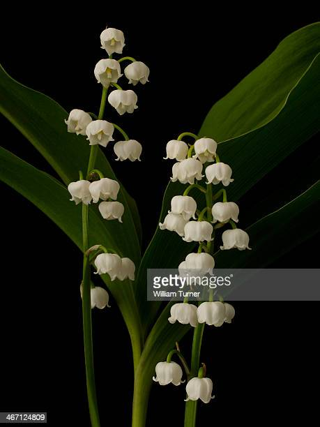 Lily of the Valley plant on black background.