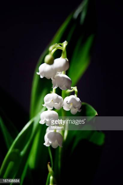 Lily of the Valley (Convallaria majalis 浅い DOF )