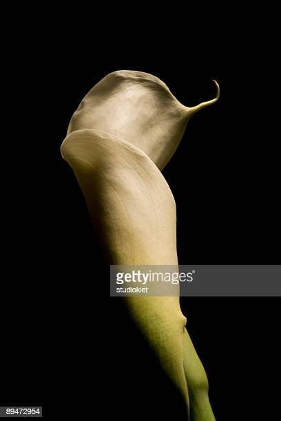 lily on black - calla lily stock pictures, royalty-free photos & images