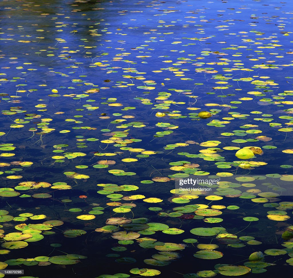 Lily pads floating in still lake : Stock Photo