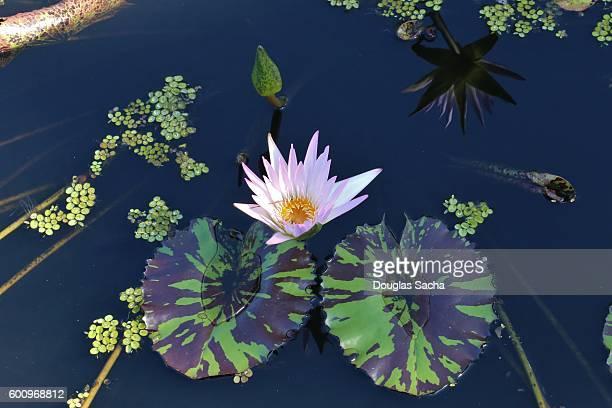 Lily pads floating on still lake (nenuphar)