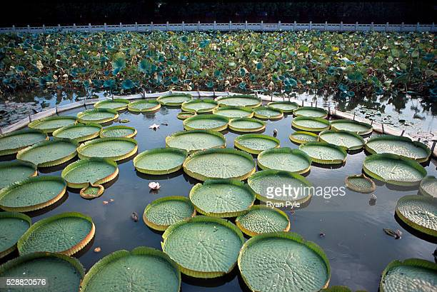 Lily pads in the pond in front of the Nanputuo Temple in Xiamen. The Nanputuo Temple is located on the southeast of Xiamen Island. It is surrounded...