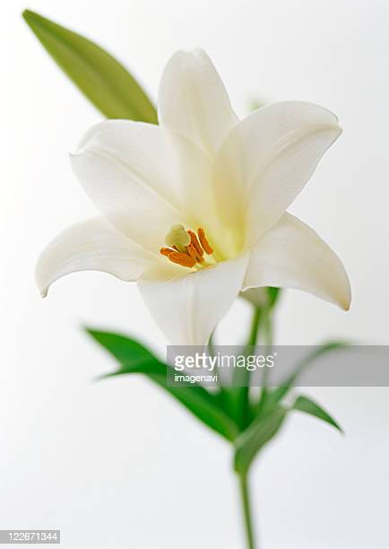 lily - easter lily stock pictures, royalty-free photos & images