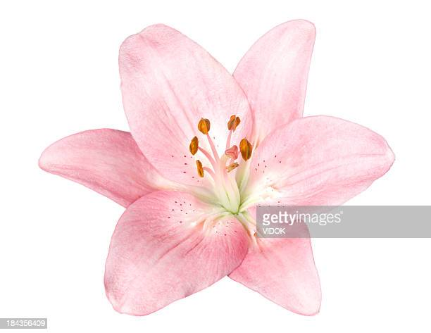 lily. - water lily stock photos and pictures