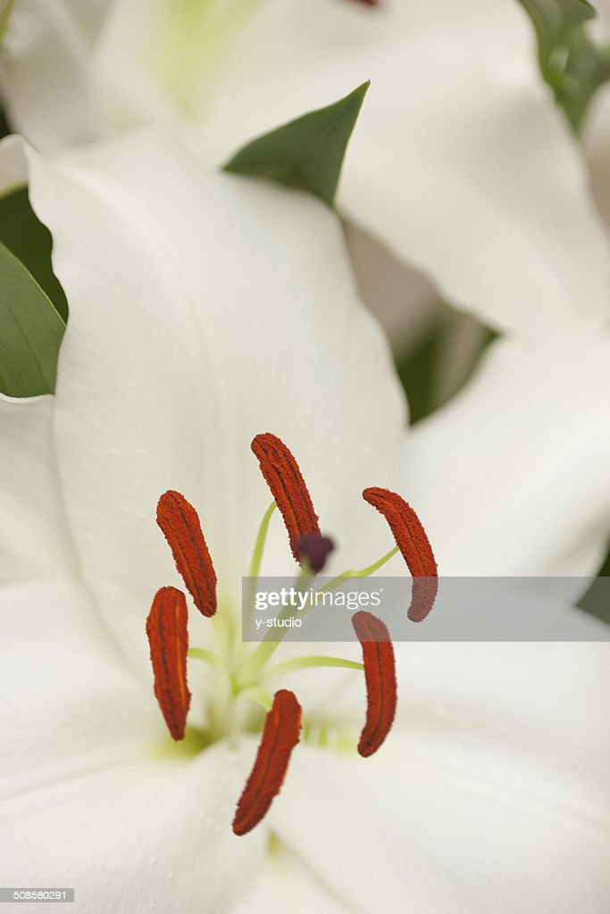 Lily : Stock Photo