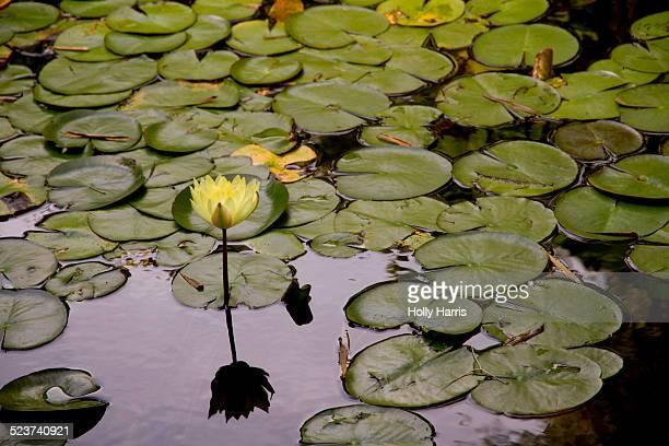 lily pond - lily harris photos et images de collection