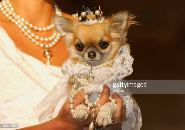 Lily the Chihuahua dressed as Vivienne Westwood Bride at the PetAPorter dog Fashion Show and champagne reception celebrating Harrods' wide range of...