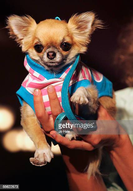 Lily the Chihuahua dressed in Puppia Pink and Blue Top at the PetAPorter dog Fashion Show and champagne reception celebrating Harrods' wide range of...
