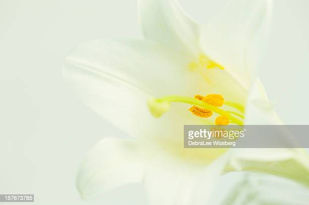 lily white - easter lily stock pictures, royalty-free photos & images