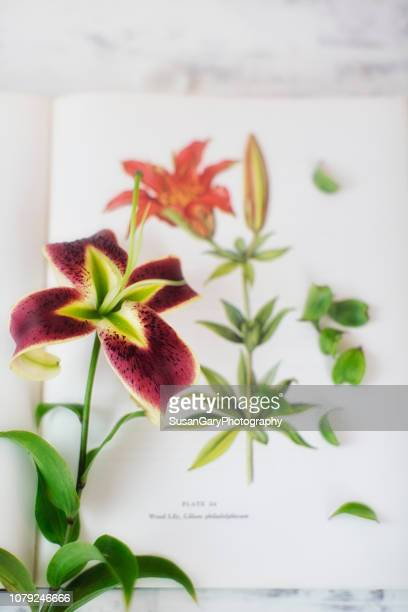 Lily with Antique Illustrative Background