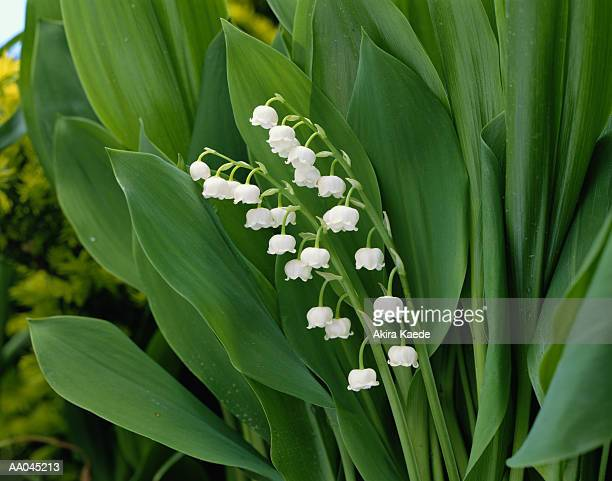 lily-of-the-valley - lily of the valley stock pictures, royalty-free photos & images