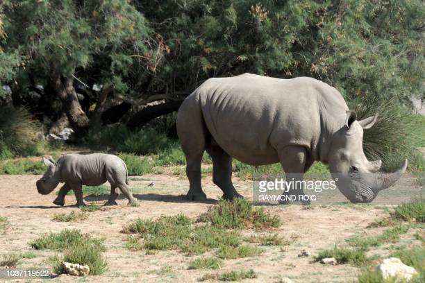 Lima a white rhinoceros female walks with her baby a male born early September on September 21 2018 at Sigean's African reserve