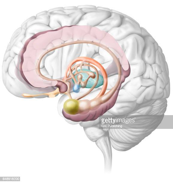 Limbic System Stock Photos and Pictures | Getty Images