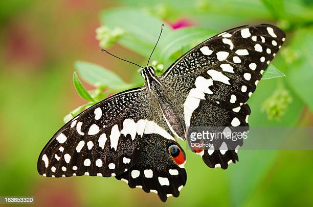 lime butterfly (papilio demolius)  against an out of focus background. - ogphoto stock pictures, royalty-free photos & images
