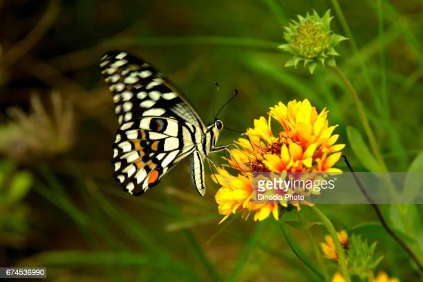 Lime Butterfly feeding on flower, mumbai, maharashtra, india, asia