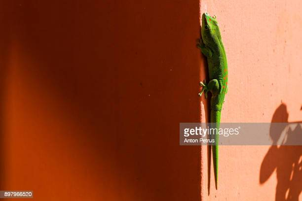a lime green mauritian lizard - ile maurice photos et images de collection