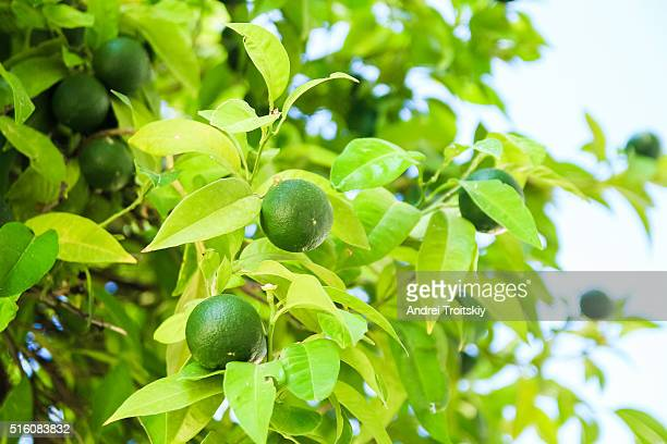 lime green tree hanging from the branches in sun rays, cyprus - grove stock photos and pictures