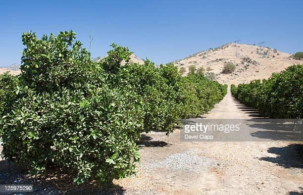 Lime groves Fresno County, Central California, Sierra Nevada, California, United States of America