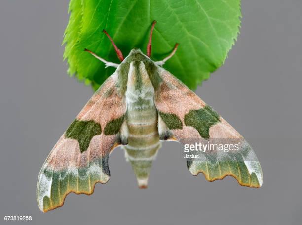 Lime Hawk-moth moth