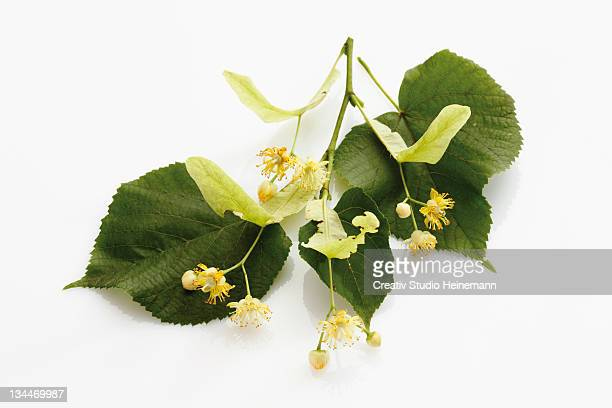 Lime or Linden (Tilia) leaves and flowers